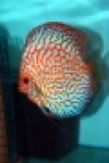 Discus disponibili